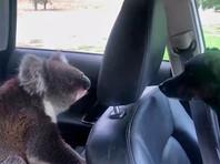 В Австралии наглый коала проник в автомобиль, чтобы охладиться (ВИДЕО, ФОТО)