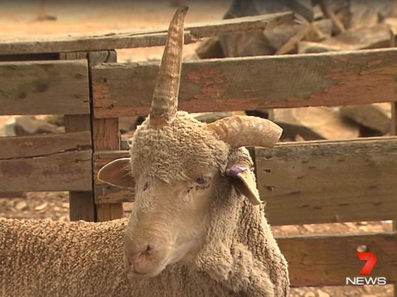 Австралиец за пару упаковок пива спас от скотобойни удивительного барана-единорога