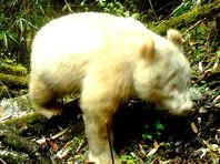 """Панда-альбинос в заповеднике """"Волун"""""""