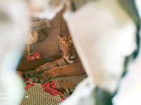 В Индии обессиленная стихией тигрица пришла в дом и проспала на кровати целый день (ФОТО)