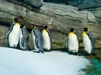 Пингвины-геи из берлинского зоопарка так хотели птенцов, что высиживали камни. Теперь у них появился шанс (ВИДЕО)