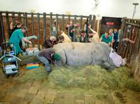 Ученые провели успешное искусственное оплодотворение яйцеклеток почти вымершего северного белого носорога