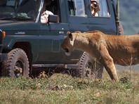 Львы в Национальном парке в ЮАР освоили новый вид охоты - они ловят своих жертв, прячась за машинами туристов (ВИДЕО)