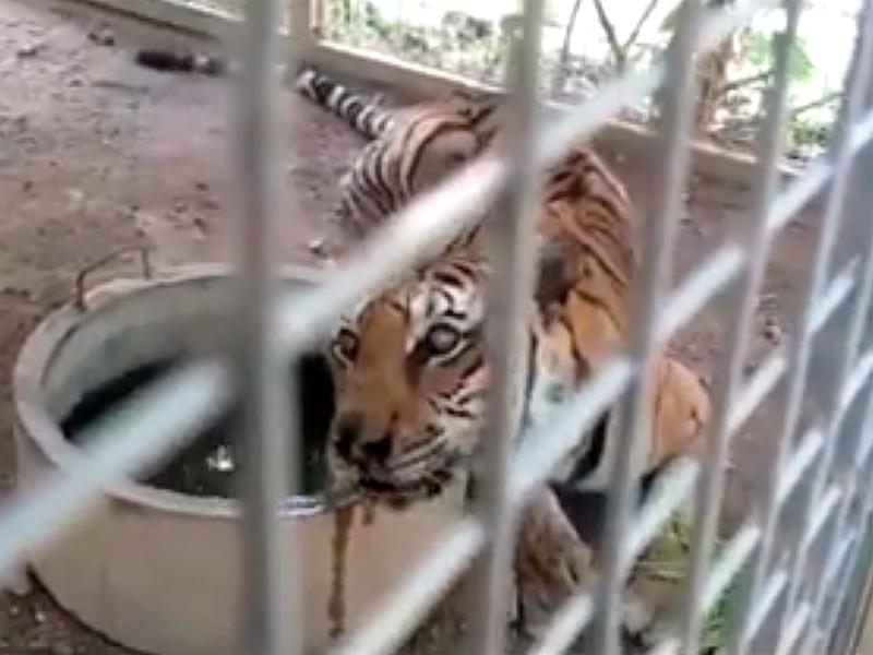 """86 тигров, вывезенных три года назад из скандального """"тигриного монастыря"""" в Таиланде, не выжили"""" />"""