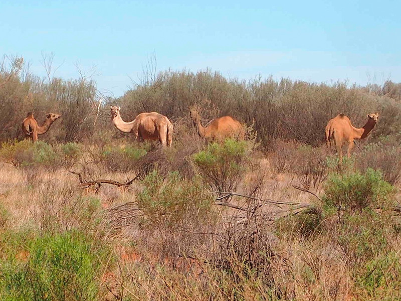 Власти Австралии санкционировали убийство 10 тысяч верблюдов в одном из пустынных регионов страны, чтобы сэкономить запасы воды