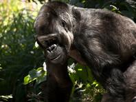 """В США учитель случайно сравнил темнокожих учеников с гориллами, а их родители не поняли идиому """"Обезьянка видит - обезьянка делает"""""""