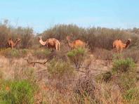 Убей верблюда - спаси воду: в Австралии решили отстрелить 10 тысяч животных ради экономии воды и спокойствия аборигенов