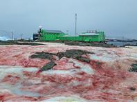 На украинской антарктической базе снег окрасился в малиновый цвет (ФОТО)
