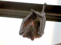Промежуточными переносчиками коронавируса названы панголины, а первоначальными хозяевами - летучие мыши