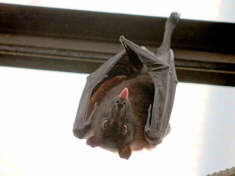 """Промежуточными переносчиками коронавируса названы панголины, а первоначальными хозяевами - летучие мыши"""" />"""
