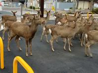 На улицы опустевших из-за коронавируса городов стали выходить дикие животные: стада лосей, оленей, стаи кабанов, обезьян (ВИДЕО, ФОТО)
