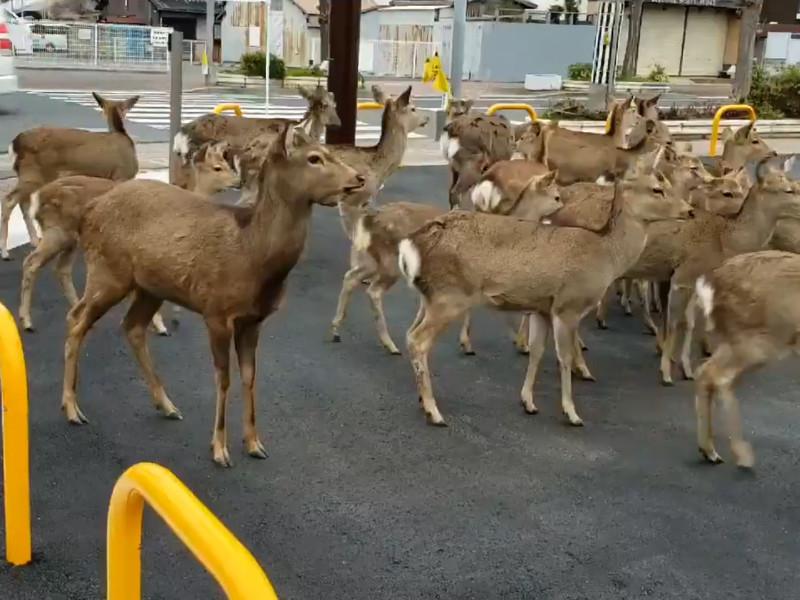 На улицы опустевших из-за коронавируса городов стали выходить дикие животные