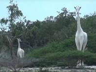 В Кении браконьеры убили единственную в мире самку белого жирафа и ее детеныша