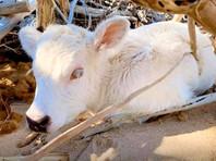 В США унесенная ураганом с одного на другой остров корова родила теленка с глазами разного цвета (ФОТО)