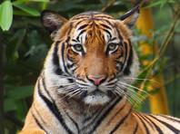 В нью-йоркском зоопарке отмечен первый известный в мире случай коронавируса у тигрицы, ее заразил человек