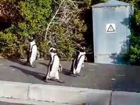 Видео из южноафриканского города Саймонстаун стало вирусным, на различных сайтах и в соцсетях оно собирает миллионы просмотров. В пригороде Кейптауна несколько дней назад запечатлели троицу очковых пингвинов, которые бродили по тротуарам и улицам
