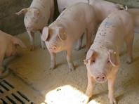 Китайские ученые обнаружили новый потенциально опасный штамм вируса свиного гриппа G4 EA H1N1