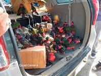 64 попугая были еще живы, десять умерли. Куда их собирались вывезти с острова, полиция не выяснила. Спасенные птицы относятся к местному виду дамский широкохвостый лори