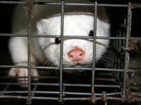 Правительство Дании признало ошибкой решение о поголовном забое норок из-за коронавируса