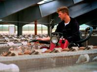 Власти Дании распорядились уничтожить все поголовье разводимых в стране норок - а это 15-17 млн особей - после того, как сразу в нескольких хозяйствах у животных была обнаружена особо устойчивая мутация коронавируса