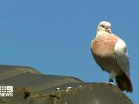 В Австралии из-за карантинных правил решили усыпить голубя, прилетевшего из США