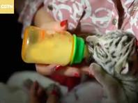 """Новорожденную тигрицу по имени Ньевес, что можно перевести примерно как """"снежок"""", растит жена директора зоопарка Марина Аргуэлло, так как малышку отвергла мать. У бенгальской тигрицы, которую спасли из цирка пять лет назад, не появилось молока для кормления потомства"""