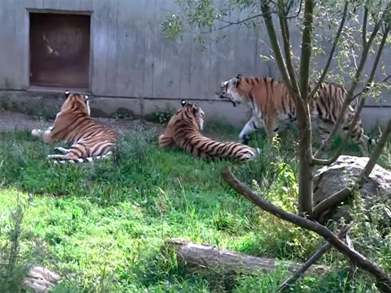 В шведском зоопарке усыпили тигрицу Настасью, заболевшую COVID-19