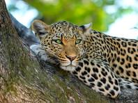 Из сафари-парка в Китае бежали три леопарда. Администрация сумела скрыть их побег на неделю