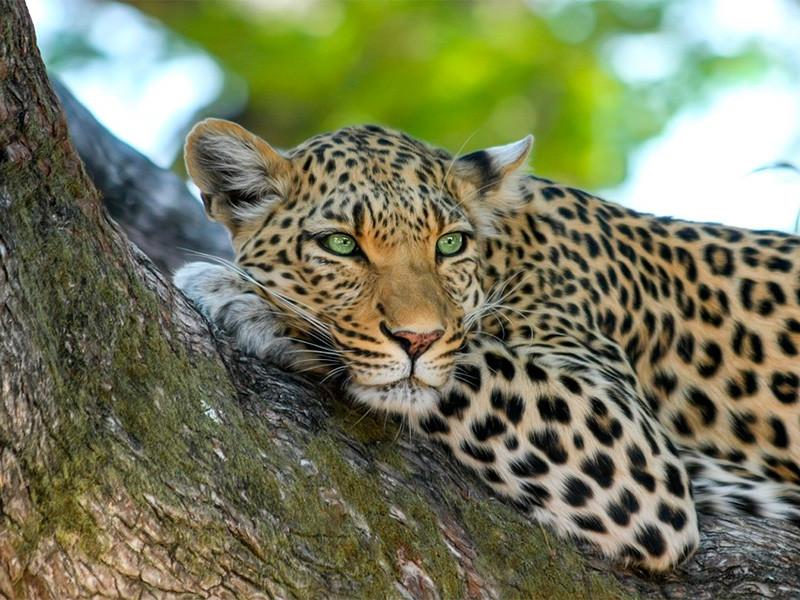 Три леопарда сбежали из сафари-парка в Ханчжоу (провинция Чжэцзян на востоке Китая), но руководство парка предупредило местных жителей только несколько дней спустя