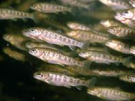 Из списка продэмбарго исключены молодь белоногой креветки и мальки нескольких видов рыб