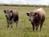 """В Набережных Челнах представили первую """"татарстанскую  криптовалюту"""", она обеспечена мясом чипированных бычков"""
