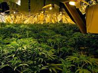 Израиль признал разведение марихуаны в медицинских целях отраслью экономики