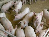 Африканской чума свиней -  это вирусное заболевание, которое поражает диких кабанов и домашних свиней