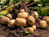 """""""Единственное условие - урожай, полученный из собственного посевного материала, нельзя направлять на продажу, в том числе реализовывать его на рынках или в торговых сетях"""", - пояснили в ведомстве"""
