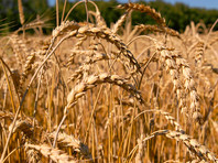 США нашли угрозу своей нацбезопасности в рекордных урожаях пшеницы в РФ