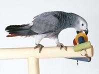 """Родственники убитого американца попросили приобщить к уголовному делу слова попугая-""""свидетеля"""""""
