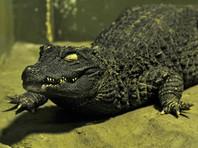 В Австралии воры подбросили в школу трех голодных крокодилов (ВИДЕО)