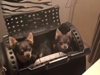 """В Подмосковье задержаны мигранты-трансвеститы, укравшие четырех собак чихуахуа у """"сутенера"""""""