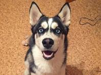 В Приамурье мужчина, отвязавший чужую собаку породы хаски, получил 2 года строгого режима