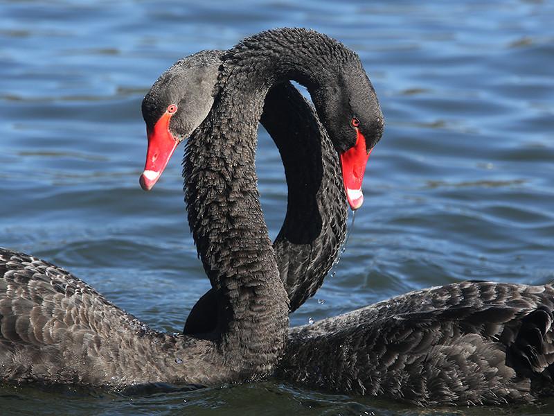 В Китае двоих курьеров обвинили в краже черного лебедя из парка Сюйцзяхуэй в Шанхае. Мужчины поймали птицу, приготовили и полакомились частью получившегося блюда. В результате похитителей вычислили по камерам видеонаблюдения