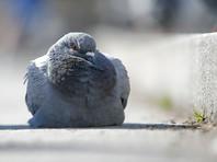 В Кувейте таможенники изловили голубя, прилетевшего из Ирака с рюкзачком наркотиков