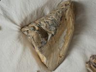 В Приморье замглавы ОМВД, похитивший бивни мамонта и другие вещдоки, получил 4,5 года колонии