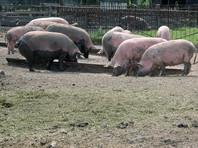 В Омской области гражданин Казахстана убил фермера и скормил его свиньям