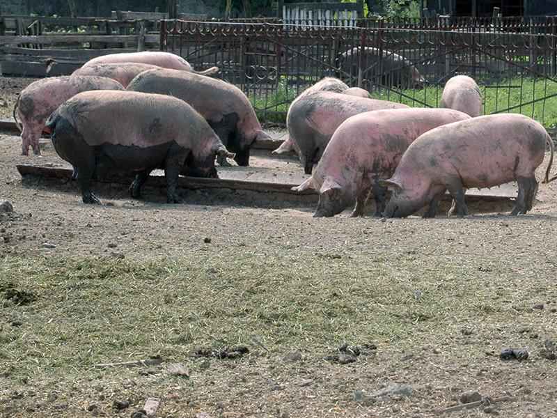 40-летнего гражданина Казахстана и его 43-летнюю сообщницу обвиняют в зверском и изощренном убийстве хозяина фермы, совершенном из корыстных побуждений. Труп потерпевшего преступники отдали на растерзание свиньям