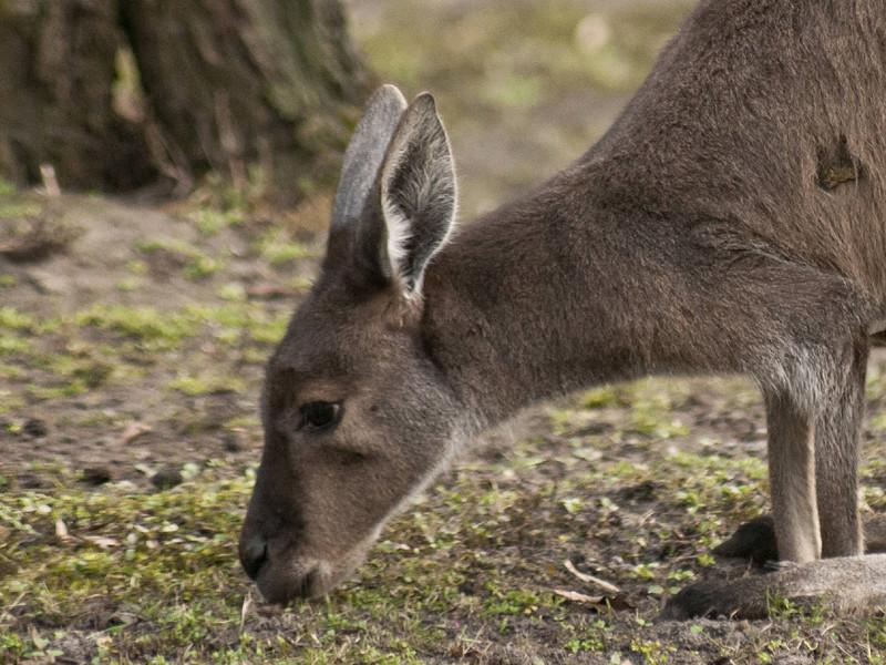 Австралийские зоозащитники изучают шокирующие кадры убийства кенгуру, появившиеся в интернете