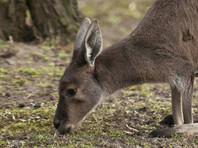 В интернете опубликованы кадры жестокого убийства кенгуру, которому перерезали горло
