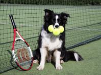 Участникам теннисного турнира в Сан-Паулу будут подавать мячи бездомные собаки