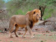 Британский регбист пропустил матч после укуса льва