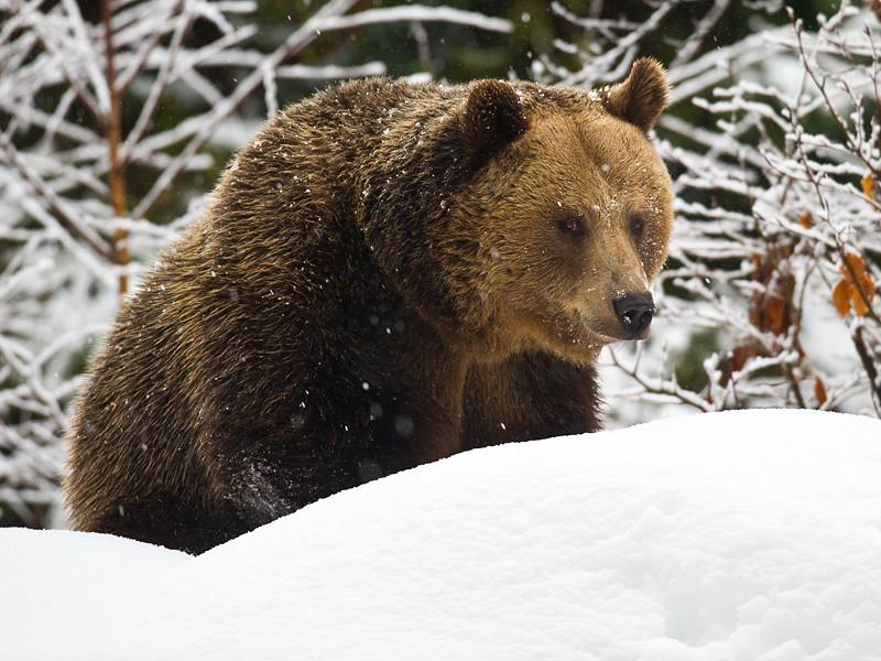 Английским футбольным фанатам, которые планируют приехать в Россию на чемпионат мира - 2018, посоветовали соблюдать осторожность в связи с возможным нападением со стороны медведей