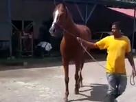 О печальной судьбе Океанского Залива поведал в соцсетях местный тренер по конному спорту Рамон Гарсия Москер. По словам специалиста, конь был украден неизвестными ради пропитания